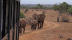 Elefantes da foto e do vídeo do tiro de Safari Cars, vão na estrada video estoque