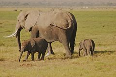 Elefantes da mãe e do bebê Foto de Stock