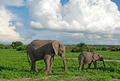 Elefantes da matriz e do bebê no savana (Zimbabwe) Imagem de Stock