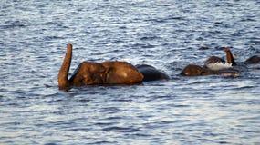 Elefantes da natação no rio de Chobe imagem de stock