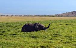 Elefantes de Amboseli Imagem de Stock