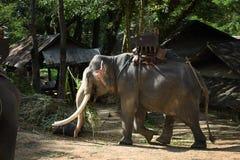 Elefantes de Asia en Tailandia Imágenes de archivo libres de regalías