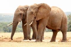 Elefantes de Bush que caminan junto Imagen de archivo libre de regalías