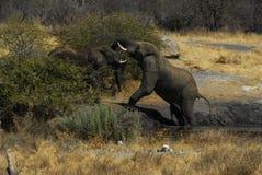 Elefantes de combate no waterhole fotos de stock