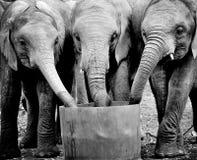 Elefantes de consumición Fotos de archivo libres de regalías