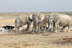Elefantes de Etosha Imagen de archivo libre de regalías