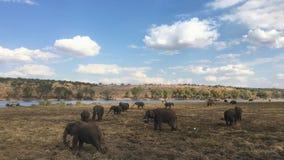 Elefantes de Kalahari en el parque nacional de Chobe en Botswana Fotos de archivo