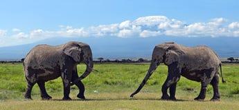 Elefantes de Kilimanjaro Foto de Stock Royalty Free