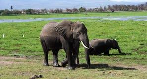 Elefantes de Kilimanjaro en el parque nacional Kenia de Amboseli foto de archivo