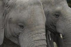 Elefantes de Knysna Imagen de archivo libre de regalías