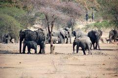 Elefantes de la mam3a y del bebé de la tropa fotografía de archivo