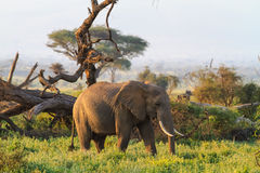 Elefantes de la sabana de Amboseli Kenia, montaña de Kilimanjaro Fotos de archivo