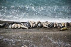 Elefantes de mar, Patagonia imagen de archivo libre de regalías