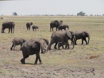 Elefantes de marcha Fotografia de Stock Royalty Free