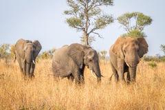Elefantes de passeio no parque nacional de Kruger Fotos de Stock