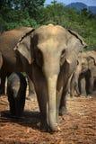 Elefantes de Pinnawela 1 Foto de archivo