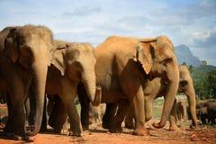 Elefantes de Pinnawela 2 Fotos de archivo
