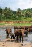Elefantes de Pinnawela Fotos de archivo libres de regalías