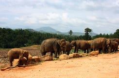 Elefantes de Pinnawela Fotografía de archivo libre de regalías
