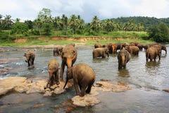 Elefantes de Pinnawela Foto de archivo