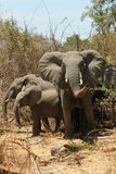 Elefantes de Ruaha Foto de archivo