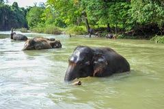Elefantes de Sumatran que se bañan en el parque nacional de Gunung Leuser de suma Imagen de archivo