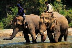 Elefantes de Tailândia Imagens de Stock