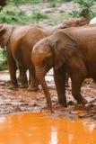 Elefantes del bebé en Kenia Fotografía de archivo libre de regalías