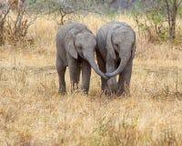 Elefantes del bebé, parque nacional de Tarangire, Tanzania, África Foto de archivo libre de regalías
