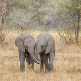 Elefantes del bebé, parque nacional de Tarangire, Tanzania, África Foto de archivo