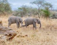 Elefantes del bebé, parque nacional de Tarangire, Tanzania, África Fotografía de archivo libre de regalías