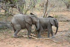 Elefantes del bebé que juegan de una manera divertida en la sabana Imagenes de archivo