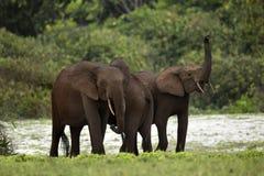 Elefantes del bosque Imágenes de archivo libres de regalías