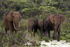 Elefantes del bosque Imagenes de archivo