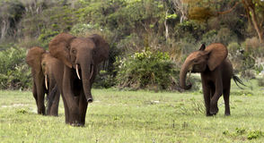 Elefantes del bosque Imagen de archivo libre de regalías