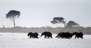 Elefantes del bosque Fotos de archivo libres de regalías