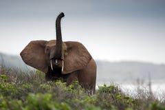 Elefantes del bosque Fotografía de archivo libre de regalías