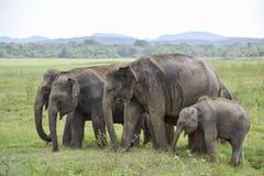 Elefantes del grupo en la sabana Imágenes de archivo libres de regalías