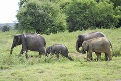 Elefantes del grupo en la sabana Foto de archivo libre de regalías