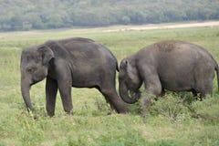 Elefantes del grupo en la sabana Fotos de archivo