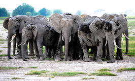 Elefantes del grupo en sabana africana. Safari Kenia Fotografía de archivo