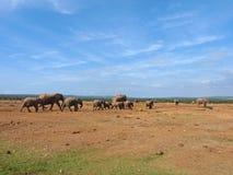 Elefantes del grupo que caminan hacia una piscina de agua Fotografía de archivo
