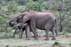 Elefantes del Masai Mara 6 Foto de archivo libre de regalías