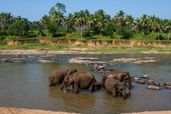 Elefantes del orfelinato del elefante de Pinnawala que se baña en el río Foto de archivo