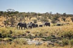 Elefantes del parque nacional de Serengeti fotografía de archivo
