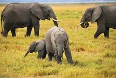 Elefantes do bebê com família imagem de stock
