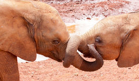 Elefantes do bebê com troncos tangled Fotografia de Stock Royalty Free