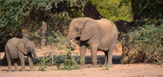 Elefantes do deserto Fotografia de Stock Royalty Free