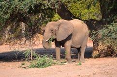 Elefantes do deserto Fotos de Stock