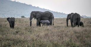 Elefantes dos cuidados com seus jovens Imagens de Stock